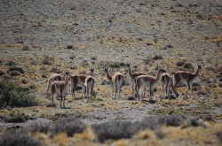 Guanacos on Route 40