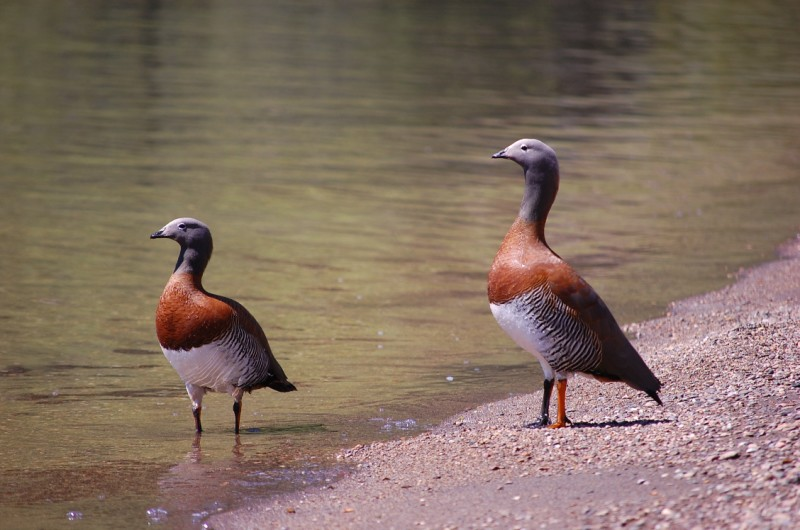 Ashy-headed Geese (Chloephaga poliocephala)