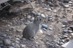 Common yellow-toothed cavy, Punta Tombo