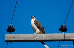 Red-backed Hawk (Buteo polyosoma)