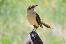 Chalck-browed Mockingbird (Mimus saturninus)