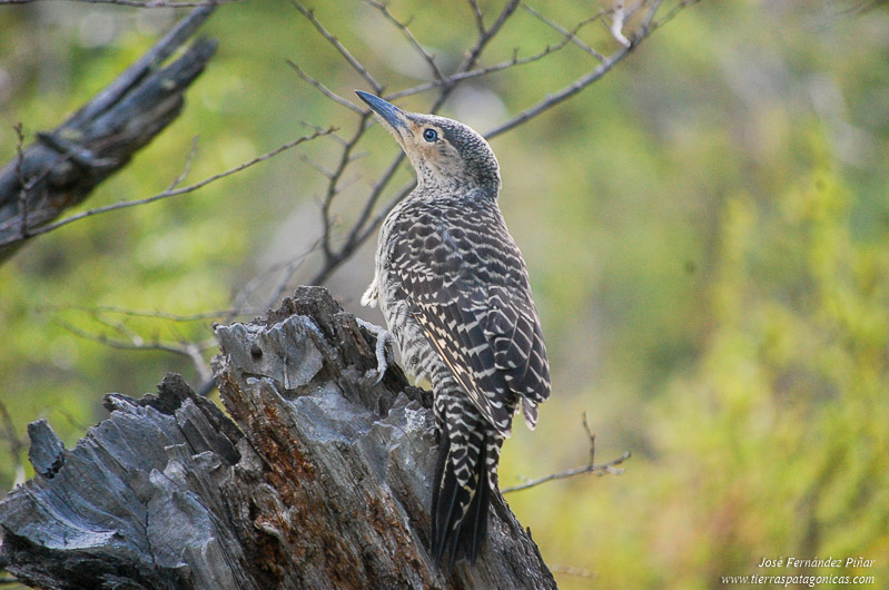 Chilean Flicker (Colaptes pitius)