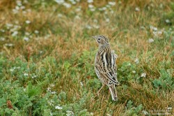 Correndera Pipit (Anthus correndera)