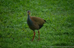 Giant Wood-Rail (Aramides ypecaha)