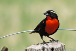 White-browed Blackbird (Sturnella superciliaris)