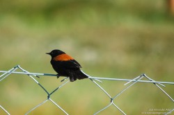 Rufous-backed Negrito (Lessonia rufa)