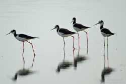 South American Stilt (Himantopus melanurus)