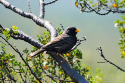 Carbonated Sierra Finch (Phrygilus carbonarius)