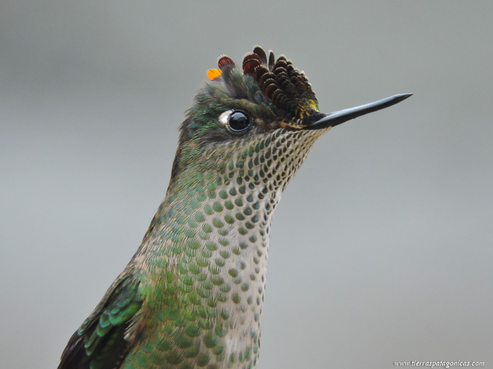 Green-backed Firecrown (Sephanoides sephanoides)