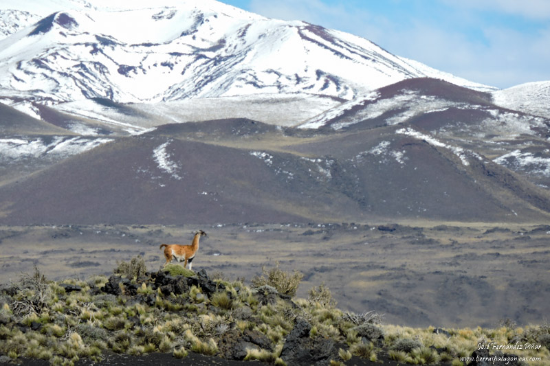 Guanaco, Payún Matrú volcano on the background